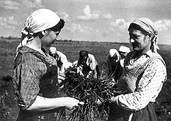 Посев, сбор и обработка одуванчика кок-сагыза надолго стали делом жизни советских колхозниц
