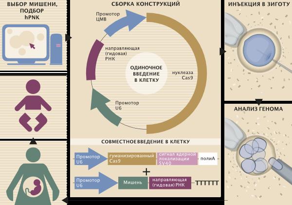 Возможный алгоритм фетальной терапии на основе CRISPR/Cas9