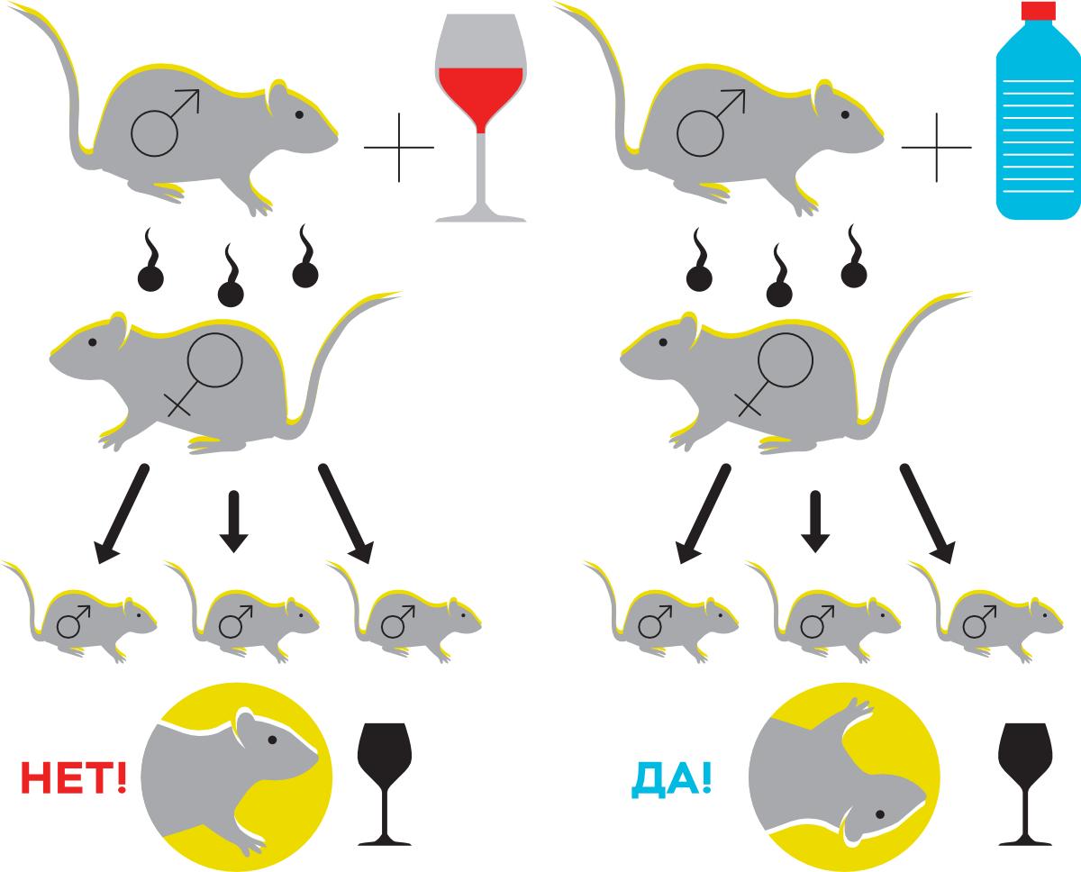 Самцы, рожденные от отцов, подвергавшихся воздействию этанола, имеют меньшую склонность к потреблению алкоголя