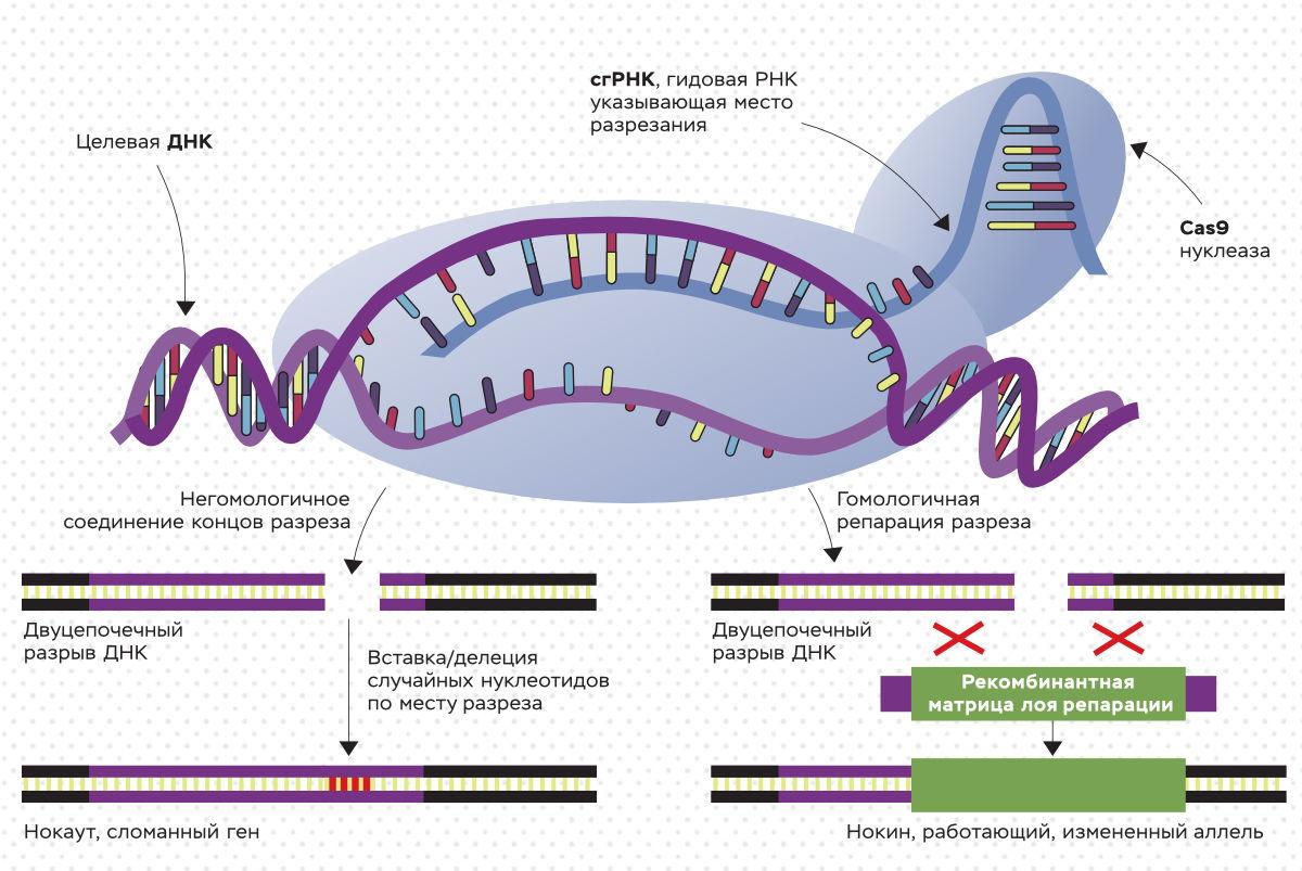 Схема CRISPR/Cas9 генетического редактирования