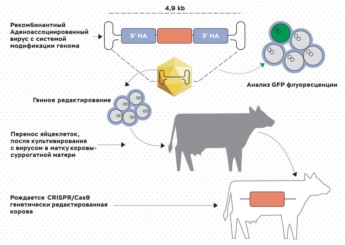 Схема внесения аллеля безрогости в геном коров