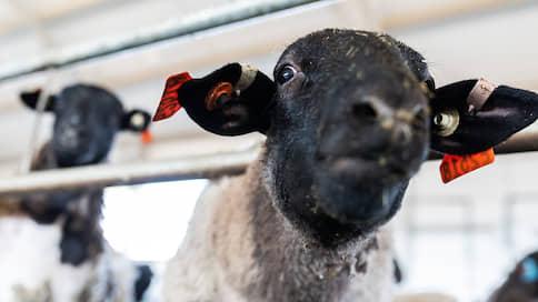 «Сибирская ферма» задумалась овечном  / В Хакасии формируется один из крупнейших в Сибири комплексов по производству баранины