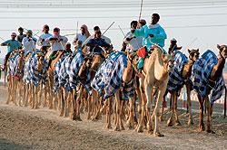 Тренировка на ипподроме для верблюжьих бегов (Camel Race Trak) – часть обычной жизни Эмиратов