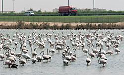 В окрестностях Дубая расположилась колония фламинго, опекаемая местными властями