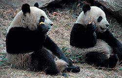 Редкие, дорогие и симпатичные панды стали подарочным ноу-хау Китая