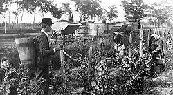 Два главных токайских секрета — неблагородный труд на виноградниках и благородная гниль на ягодах
