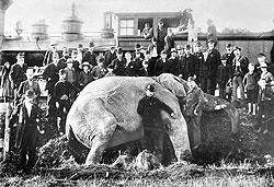 Слону Джамбо не помог его экстра-размер — машинист экстренного поезда его все-таки не заметил