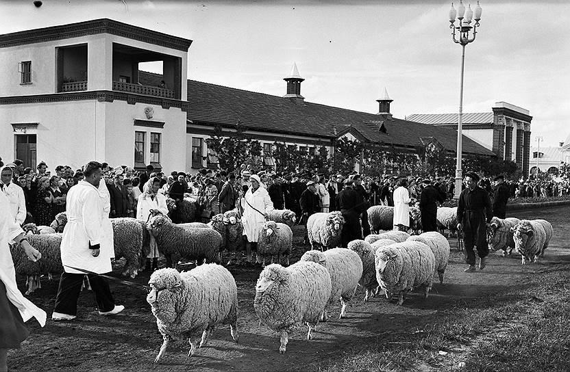 Выставка возобновила работу 1 августа 1954 года и с этого времени работала ежегодно в период с весны до осени. Ее территория увеличилась до 207 га, число павильонов возросло до 383.<br> На фото: показ тонкорунных овец на ВСХВ, 1954 год