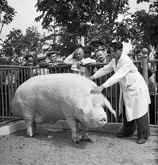 Хряк Самоучка из совхоза «Венцы-Заря» Краснодарского края и свиновод совхоза И. Т. Науменко, 1954 год