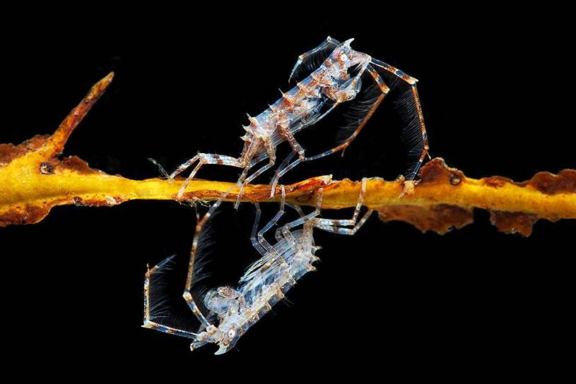 """Дулихия (Dulichia spinosissima) — небольшие ракообразные. Дулихии живут на палочках, которые строят сами. Так они защищают себя от хищников, ищущих добычу на дне, и, поднявшись выше конкурентов, получают преимущество в борьбе за зоопланктон и одноклеточные водоросли. Охотится Дулихия с помощью длинных """"антенн"""", густо покрытых длинными щетинками"""