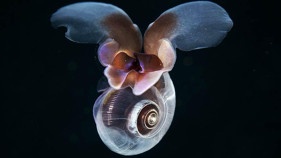 """Лимацин или Морской Чертик (Limacina helicina) — крохотный моллюск, живущий в планктоне. В процессе эволюции его """"улиточная"""" нога превратилась в """"крылья"""", с помощью которых он плавает. Необычен и способ питания Лимацина — он секретирует огромный слизевой шар, на который налипают мелкие ракообразные, бактерии и водоросли. Когда добыча поймана, лимацин шар съедает"""