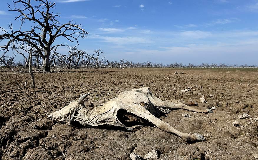 Бокерон, Парагвай. Труп животного, умершего в результате сильнейшей за последние двадцать лет засухи