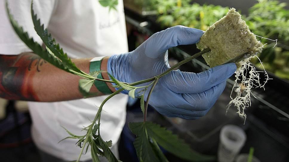 Как получить разрешение на курение марихуаны конопля семя спб