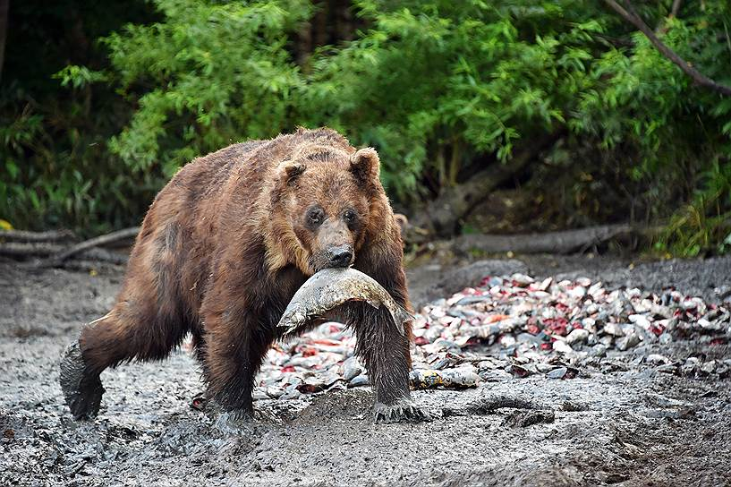 Бурый медведь с пойманной рыбой на острове Итуруп