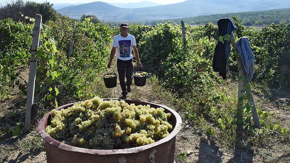 Как в 2016 году непогода стала причиной одного из самых низких урожаев винограда