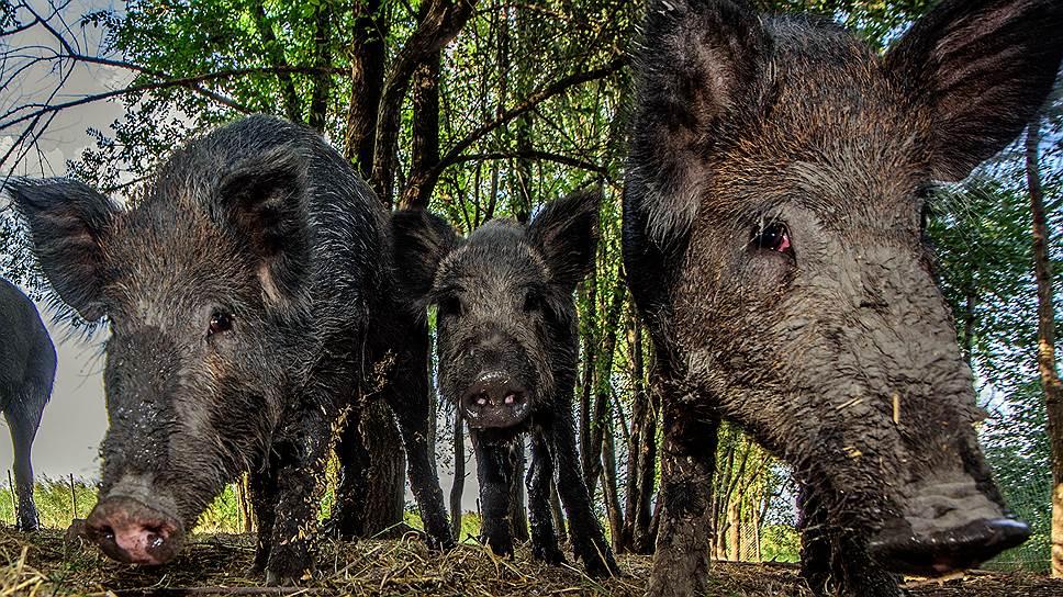 Как Минприроды отчиталось о борьбе с африканской чумой свиней