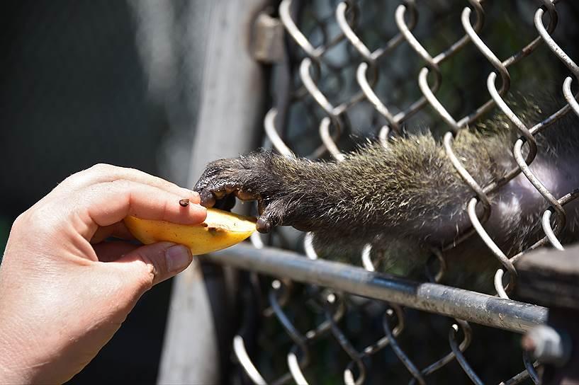 Несмотря на всю схожесть с человеком, обезьяны — это дикие животные и легко могут укусить руку дающего