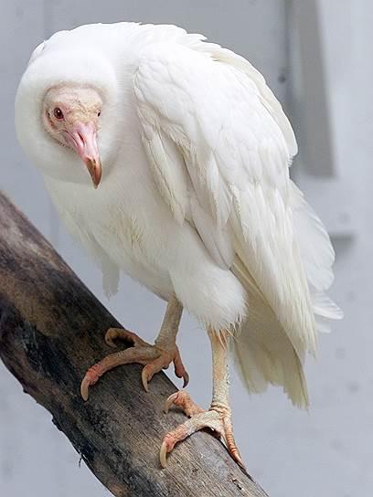 Черный стервятник-альбинос - единственный известный в своем роде, в заповеднике Уорлд Берд в Сент-Луисе (США)