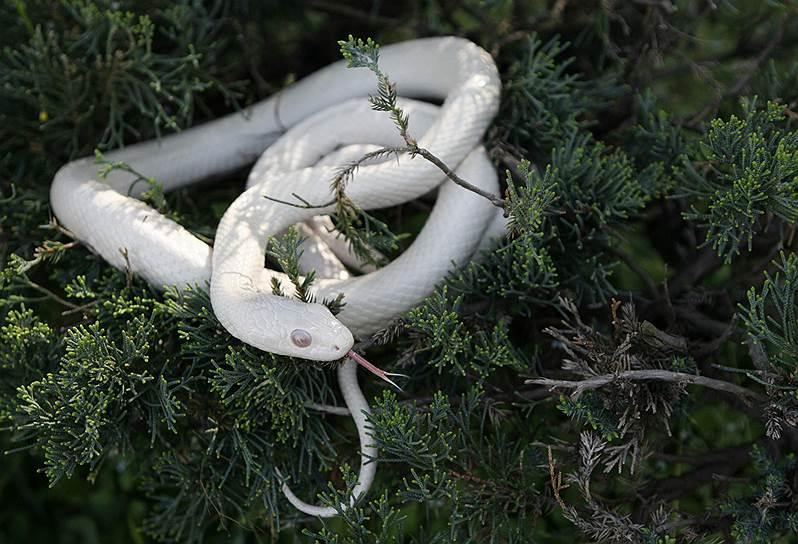 Белая японская крысиная змея