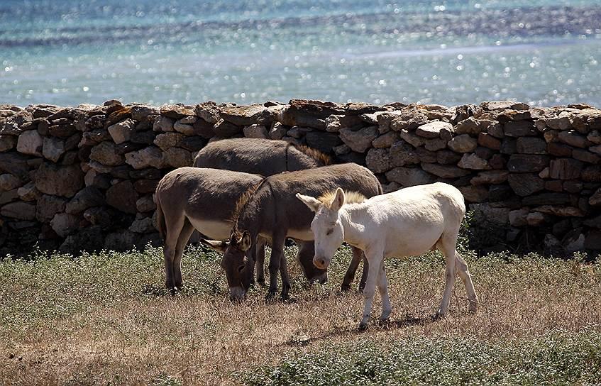 Белый осел в национальном парке итальянского острова Асинара