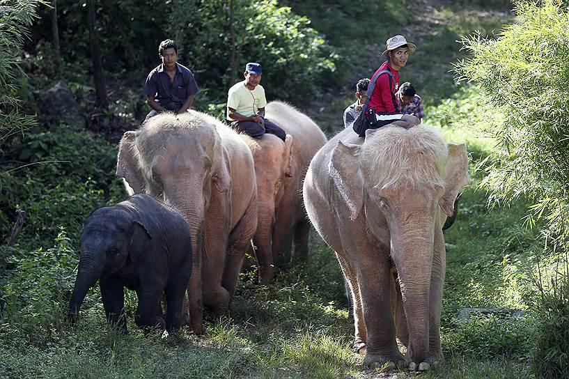 Белые слоны в Мьянме считаются святыми и признаками удачи, мира и богатства
