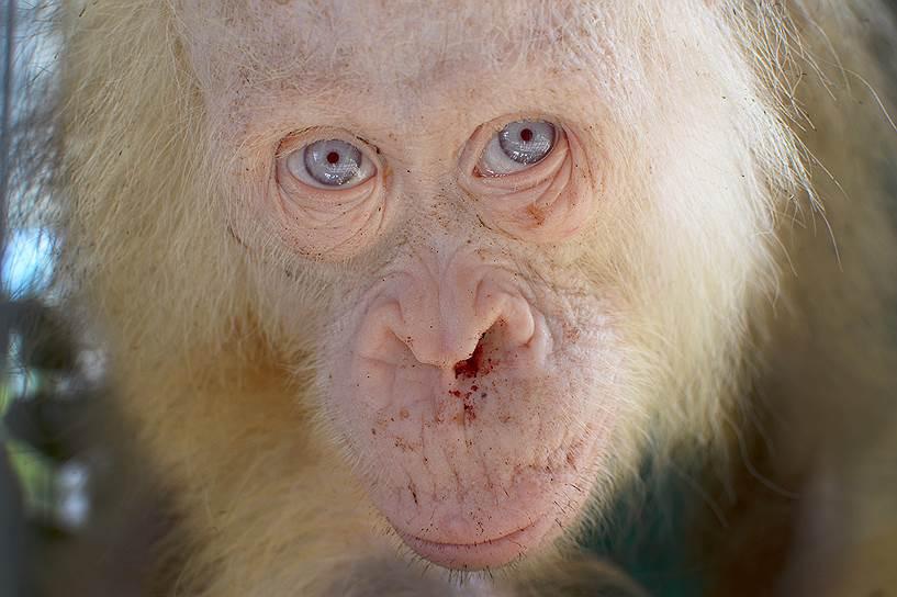 Белый орангутан, спасенный из рук браконьеров  в Индонезии