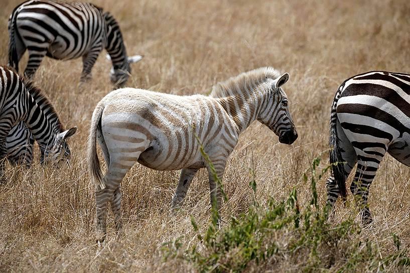 Белая зебра в Национальном заповеднике Масаи-Мара в Кении