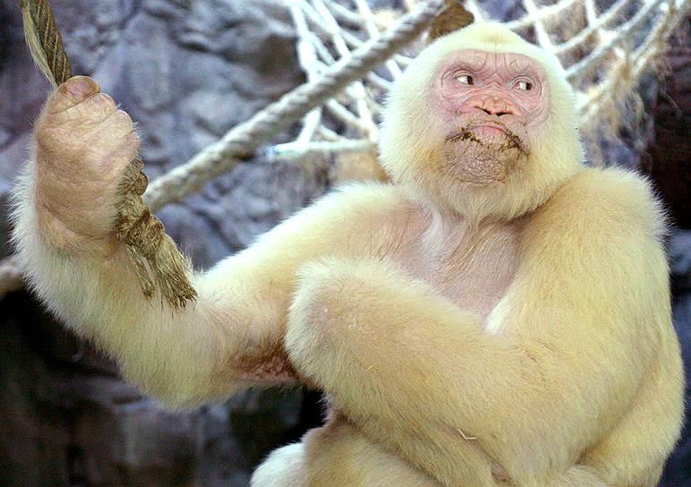 Горилла-альбинос, единственная известная в мире, в своей клетке в зоопарке Барселоны