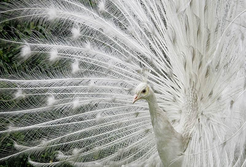 Колумбийский белый павлин в Ботаническом саду в Боготе