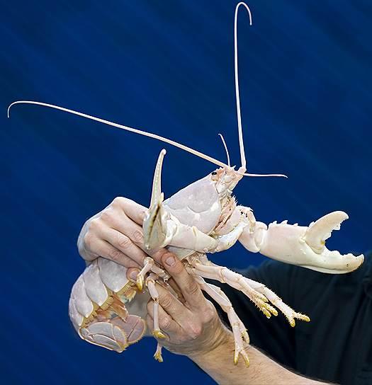 Омар-альбинос Санта Клоз в морском центре в Дорсете (Великобритания), куда его передал местный рыбак