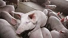 Директор свинокомплекса ответит за комбикорм