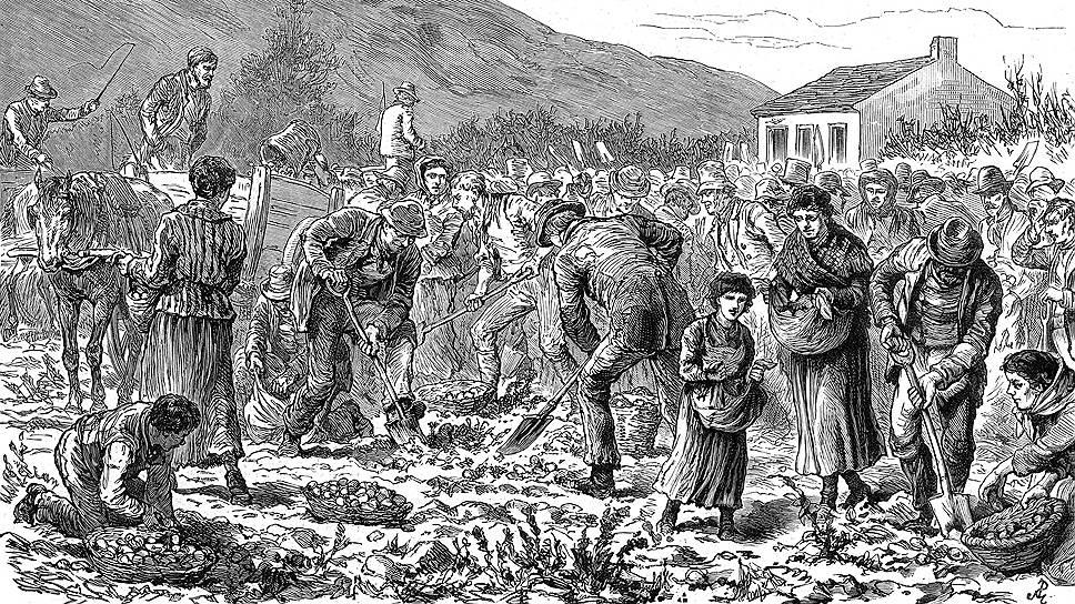 В Ирландии картошка стала главным продуктом