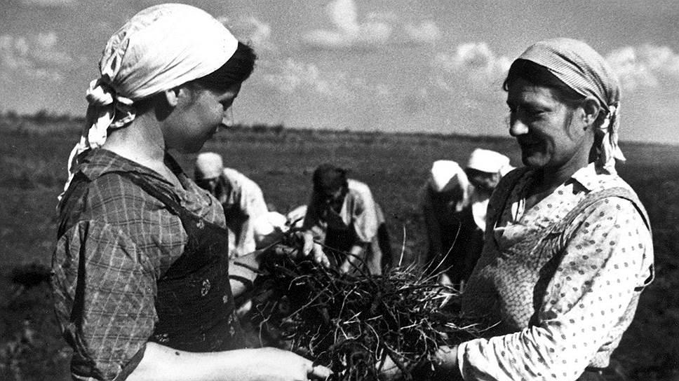 «Народный академик» сделал все, чтобы затормозить работы по созданию крайне необходимого высокоурожайного каучуконоса (на фото — сбор урожая кок-сагыза)
