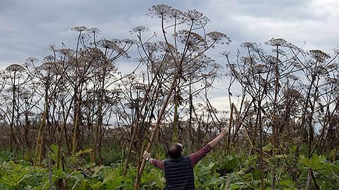 Меньшевики против борщевика // Дачников заставят бороться с ядовитым растением под угрозой штрафа