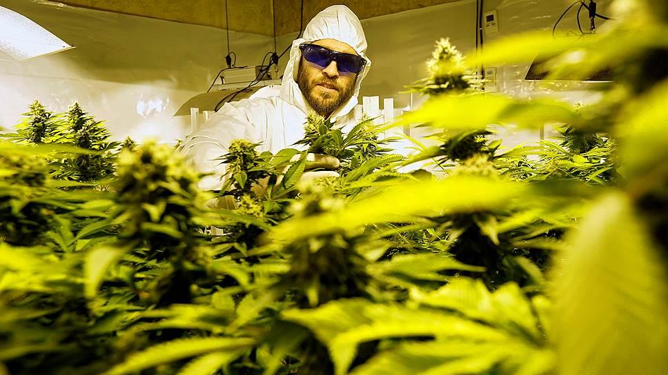 Обкуренные конопли аэропоника марихуана