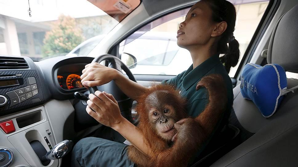 Стоя в малайзийской пробке, можно почувствовать себя ближе к дикой природе