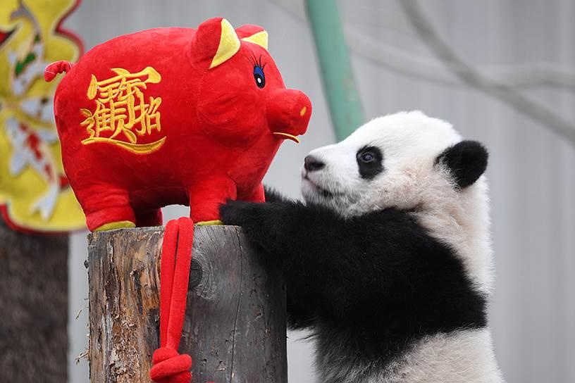 В китайской традиции каждый год связан с одним из 12 животных и одним из пяти элементов. Этот год является годом Желтой Земляной Свиньи