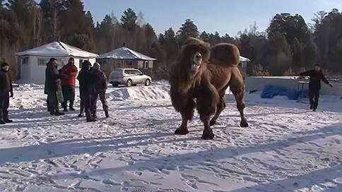 В жертву государственности принесли верблюдов // Пять животных сожжены в Иркутской области шаманами