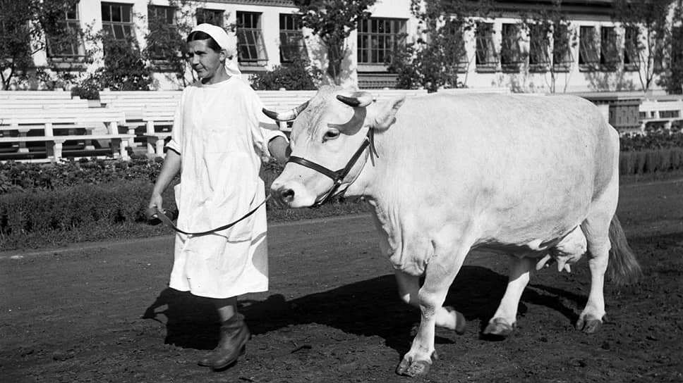 Коровы совхоза «Караваево» по весу, надоям и отелам еще в 1940-х годах догнали и перегнали Америку