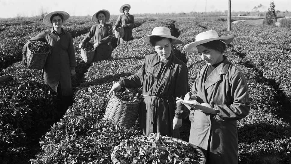 В самые сжатые сроки колхоз имени Берии стал рекордсменом по количеству трудившихся на его чайных, кукурузных и виноградных плантациях Героев