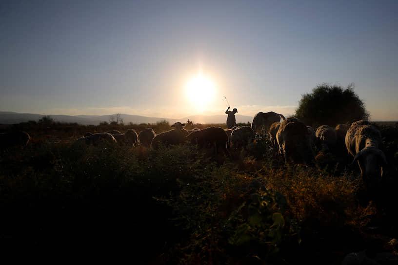 Западный берег реки Иордан. Палестинец пасет крупный рогатый скот