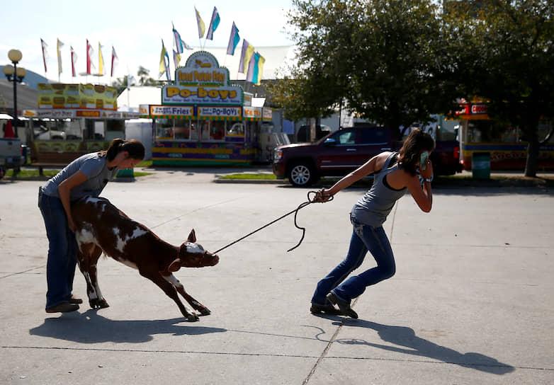 Штат Айова, США. Женщины ведут теленка на ярмарку