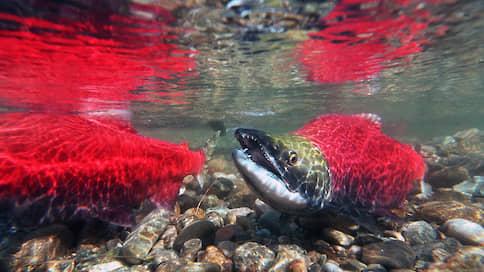 Рыба с запахом скандала  / Какую пользу приносит и какой вред наносит выращивание лосося