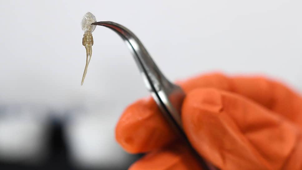 Маленький веслоногий рачок Lepeophtheirus salmonis наносит аквакультуре миллиардные убытки