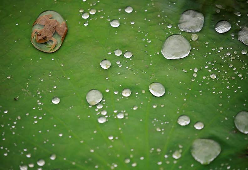 Лалитпур, Непал. Лягушка на листе лотоса после дождя