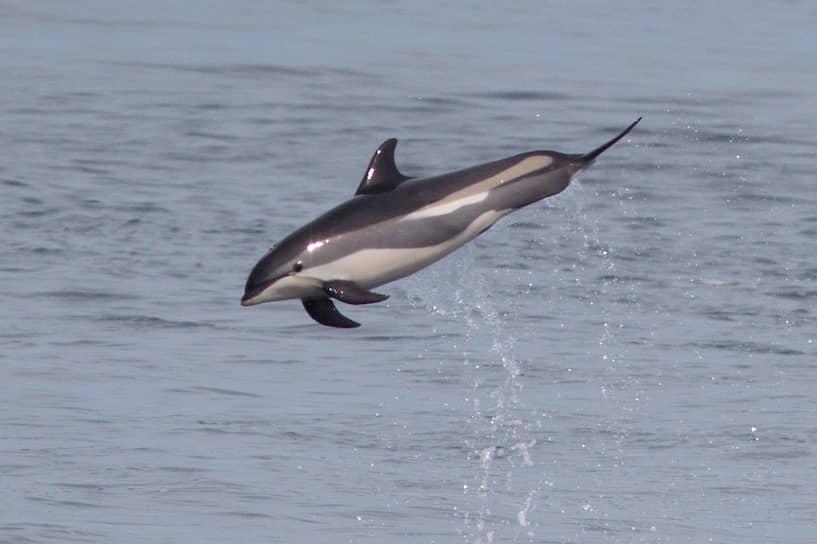 Численность атлантических белобоких дельфинов, встречающихся в северных водах европейской части России, составляет всего 200—300 тыс. особей. Однако этот вид также может остаться без особого статуса