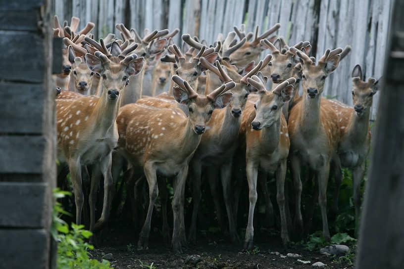 Численность уссурийского пятнистого оленя в дикой природе — менее 3 тыс. голов. Однако Минприроды также намерено исключить редкий вид из Красной книги