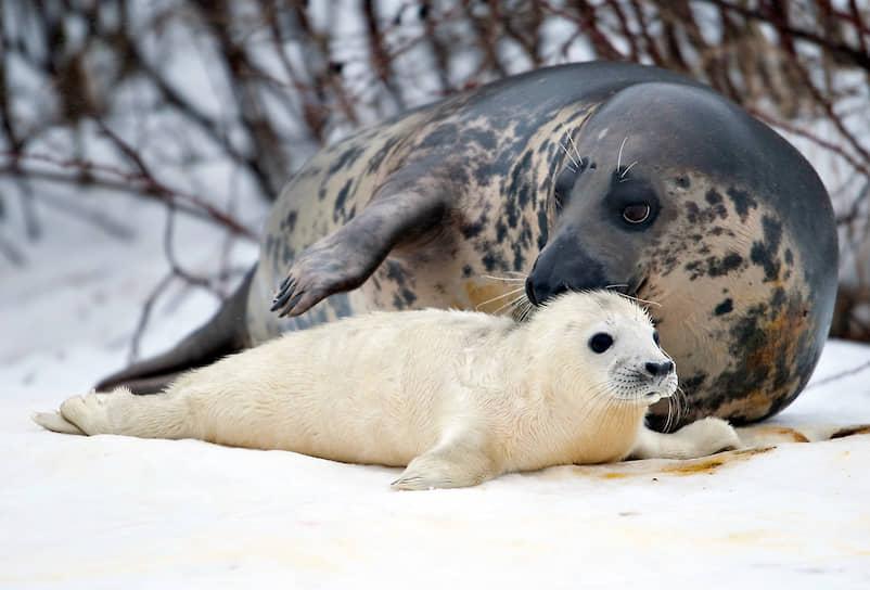 Популяция длинномордого тюленя в мире составляет 120—170 тыс. голов. В России вид пока охраняется государством, но скоро его статус может измениться