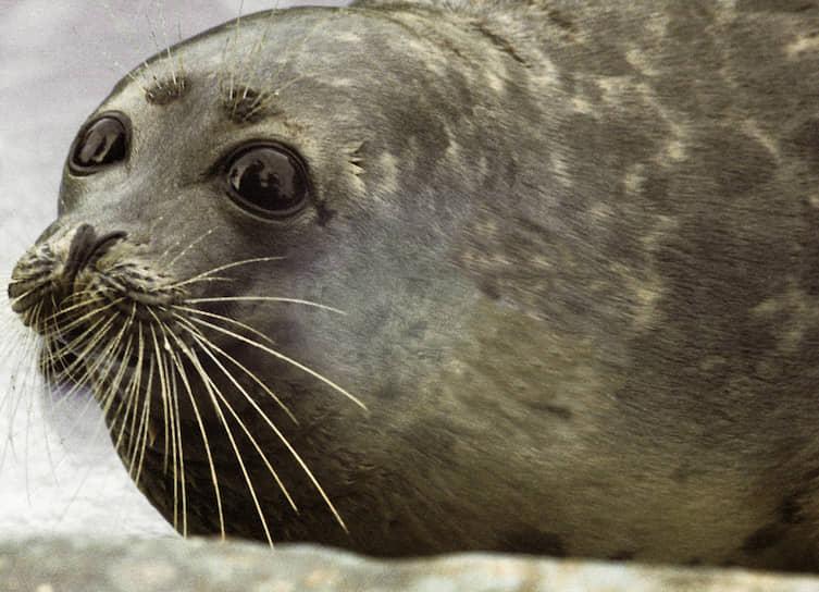 Минприроды не включило каспийского тюленя в новую редакцию Красной книги. Ранее он находился под защитой как исчезающий вид. До 2018 года устанавливались квоты на промысловую добычу каспийского тюленя, но затем охота на него была запрещена