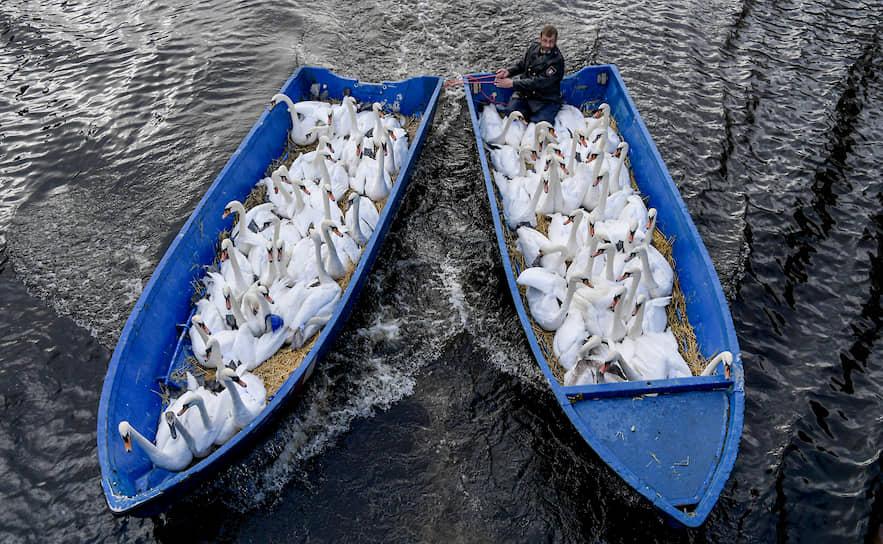 Гамбург, Германия. Перевозка лебедей в их зимний домик